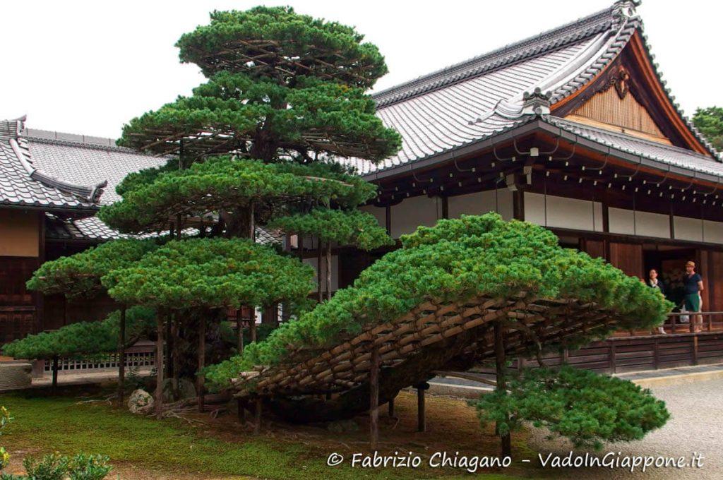 Un grandissimo bonsai nel tempio Kinkaku-ji, Kyoto, Giappone