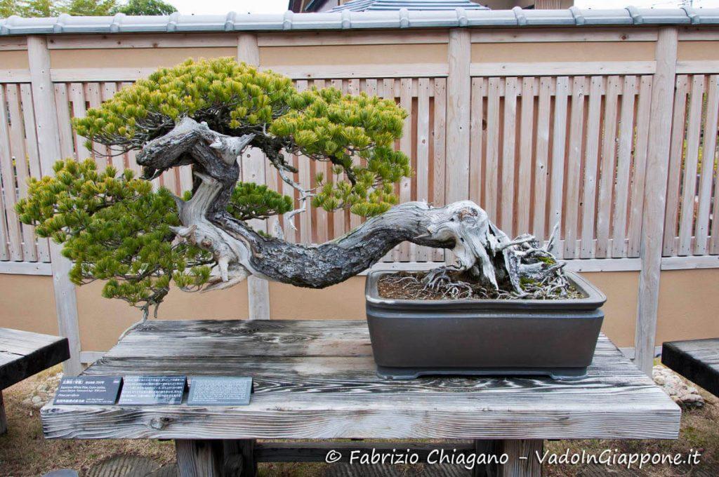 Bonsai nel giardino del Museo dei Bonsai di Omiya, Giappone