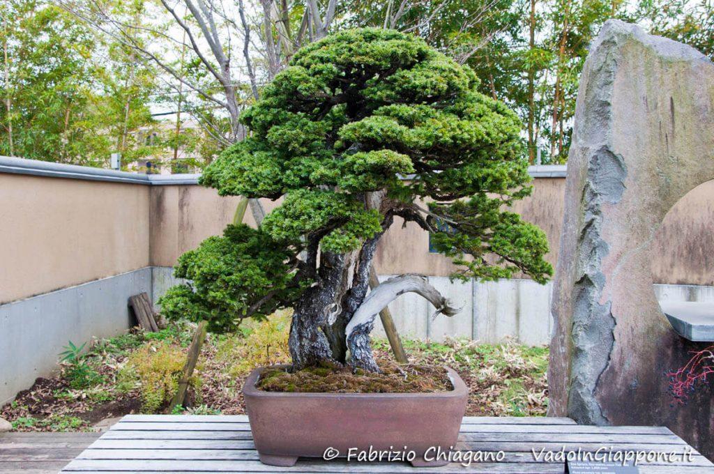 Bonsai di 1000 anni al Museo dei Bonsai di Omiya, Giappone