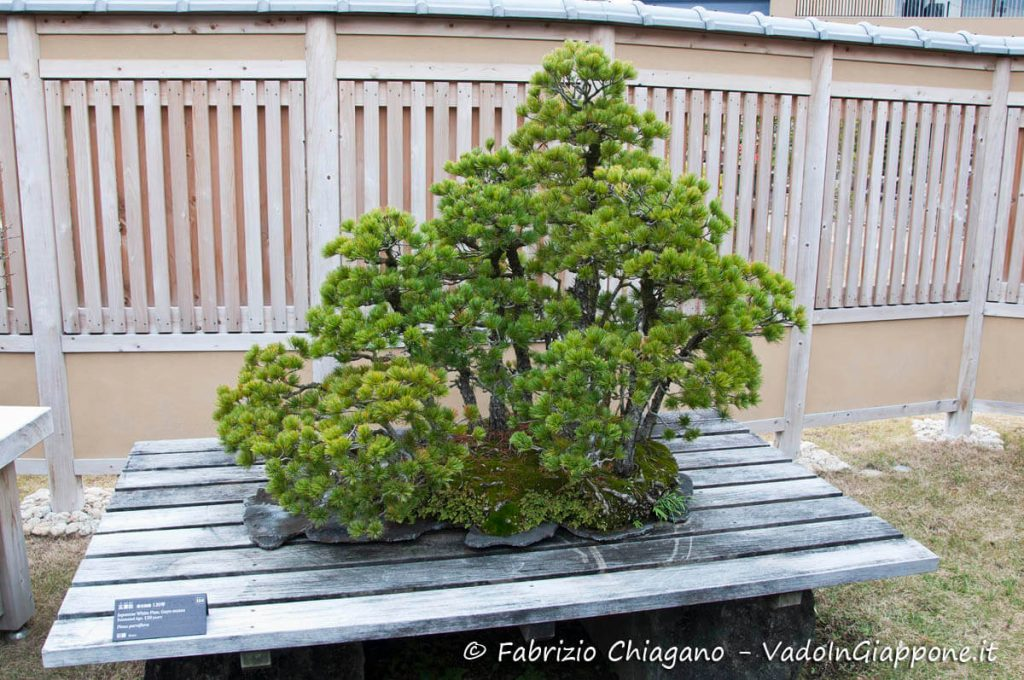 Bonsai all'interno del Museo dei Bonsai di Omiya, Giappone
