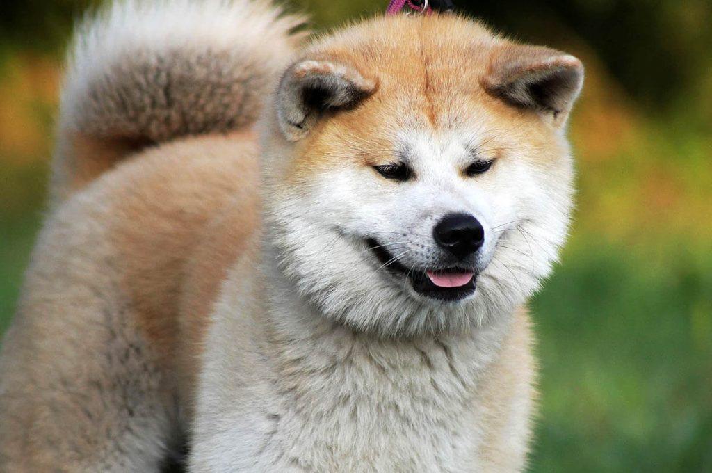 Cani giapponesi: Akita Inu