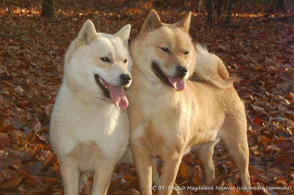 Cani giapponesi: Hokkaido Inu