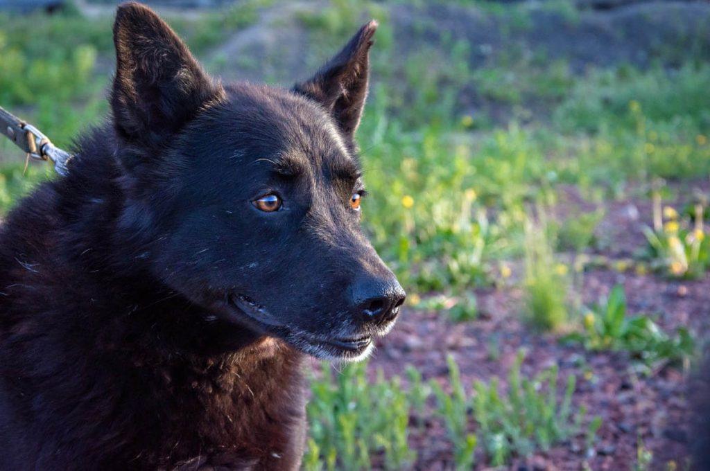 Cani giapponesi: Kai Ken