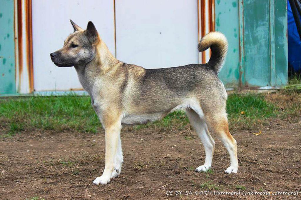 Cani giapponesi: Kishu Ken