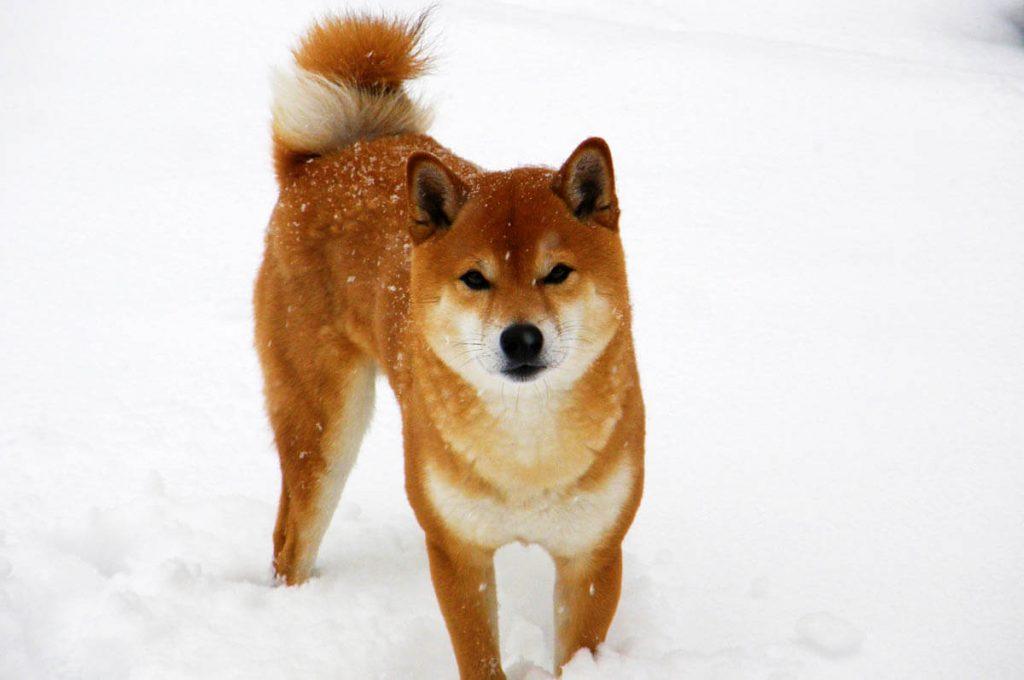 Cani giapponesi: Shiba Inu