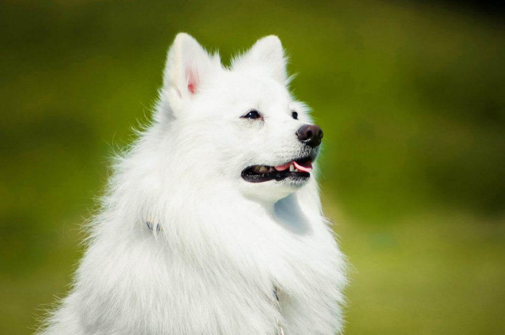 Cani giapponesi: Spitz giapponese