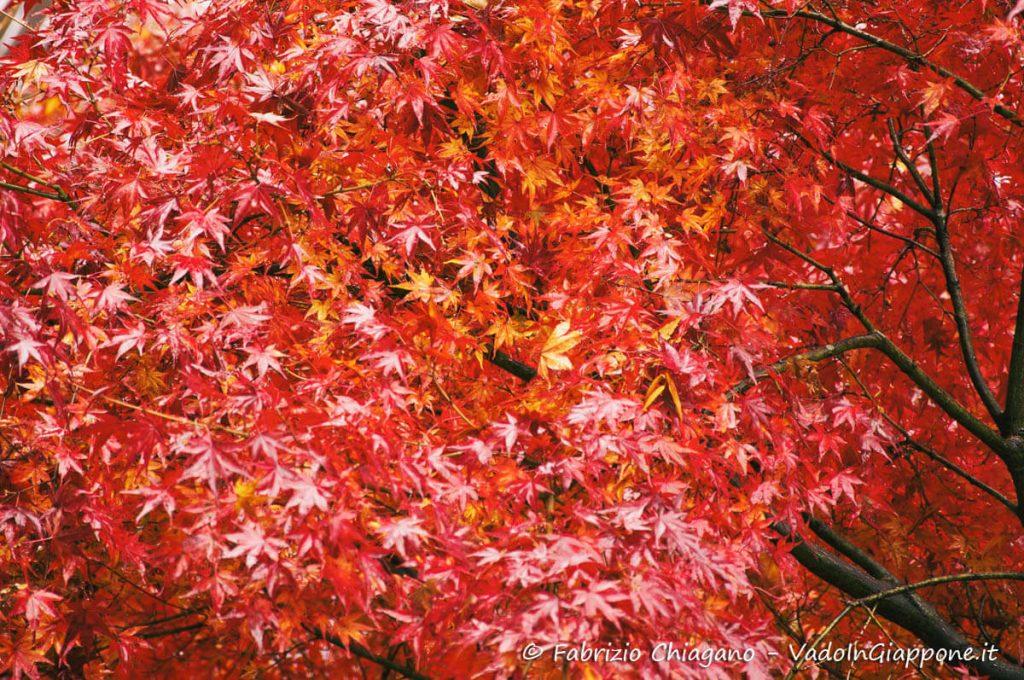 Aceri rossi sul Monte Kurama a Kyoto